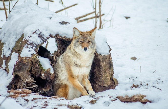 Coyotes in Pennsylvania: What's the latest information and