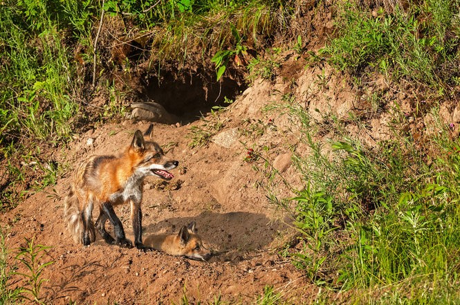 Coyotes in Pennsylvania: What's the latest information and research