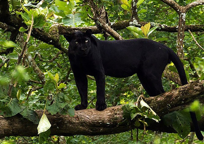 The spots are difficult to discern on a melanistic leopard in India's Nagarhole National Park.