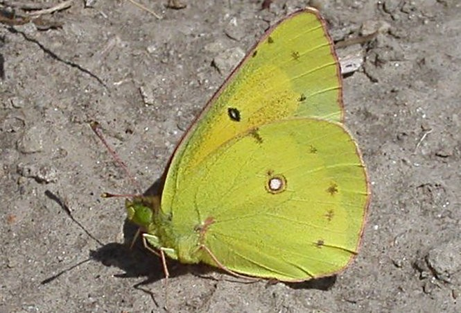15 common butterflies of Pennsylvania for National Learn