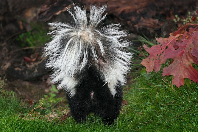Skunks, roadkill, porcupines and more: What are the worst