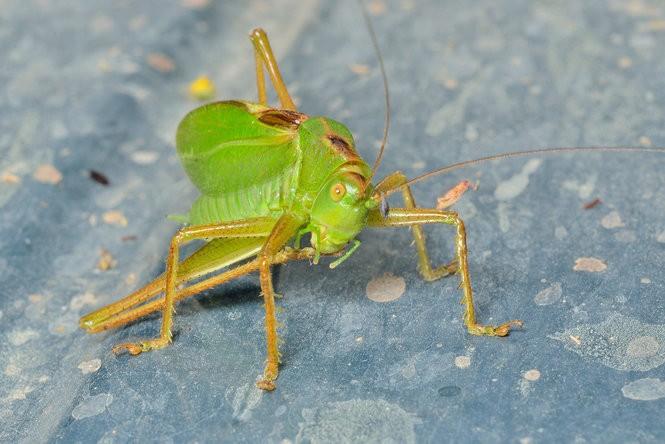 Insect serenade of summer gaining volume: Katydids, crickets