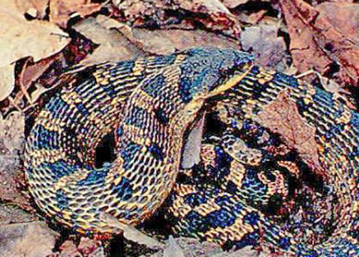 Snakes of Pennsylvania: 21 species, 3 of them venomous
