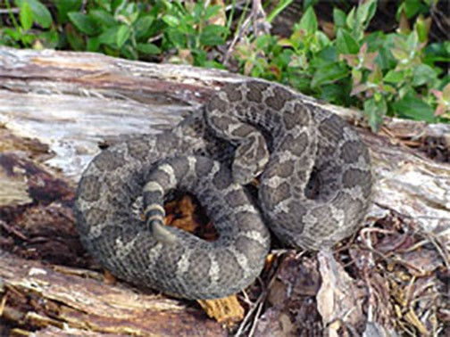 Here's how many rattlesnakes have been spotted in each Pa