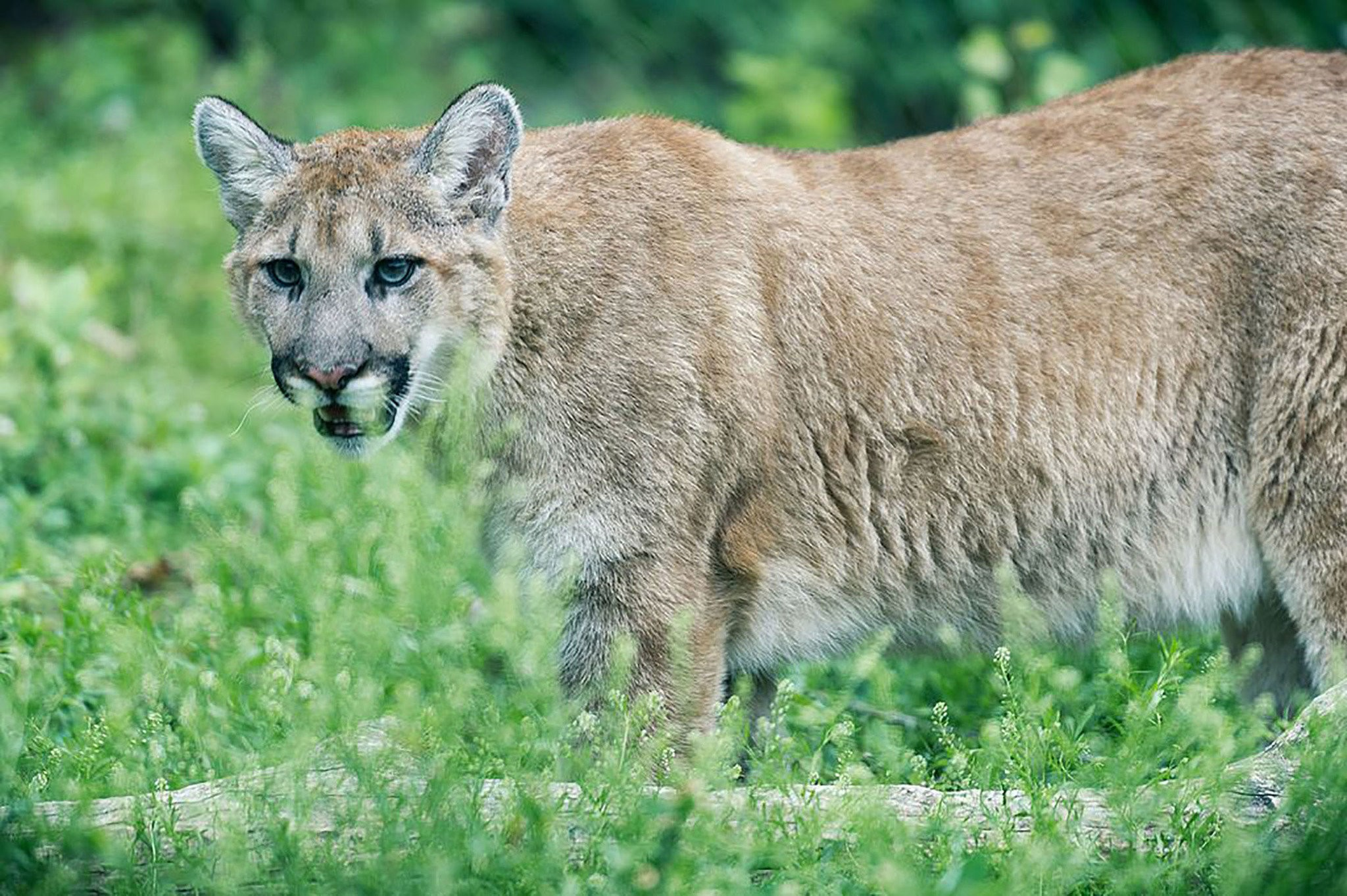 Eastern mountain lion officially declared extinct - pennlive.com