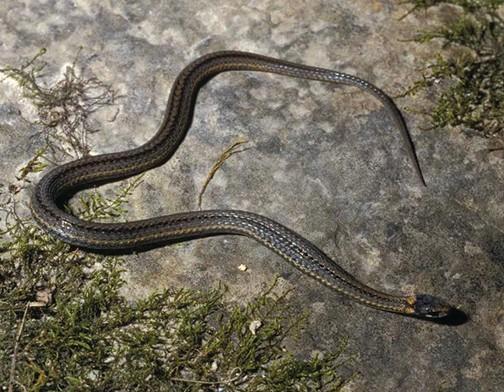 Snakes of Pennsylvania: 21 species, 3 of them venomous