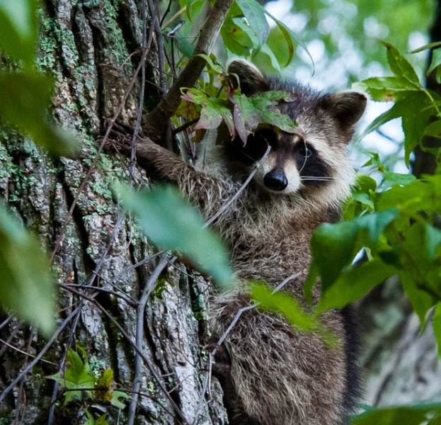 Do raccoons wash their food before eating? 16 things you