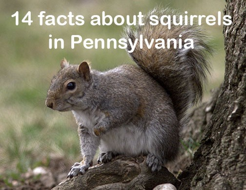 What do you know about squirrels in Pennsylvania? - pennlive com