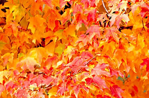What Trees Turn Which Color In Fall Your Guide To Fall Foliage In