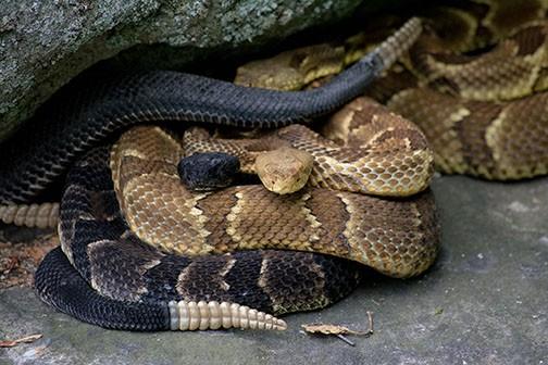 Visit to a Pennsylvania rattlesnake den - pennlive com