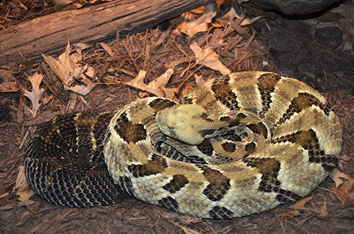 Pennsylvania snake-hunting season almost here: 15 things you