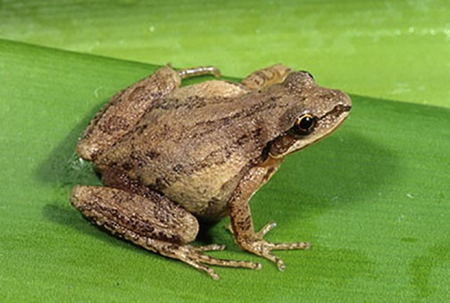 Frogs and toads of Pennsylvania: Are there really 17 species