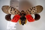 An adult spotted lanternfly, certainly easy to spot when its wings are spread.