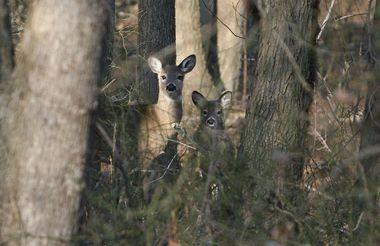 Deers observed near the Clay Pit Ponds State Park Interpretive Center, in Charleston. (Staten Island Advance/Derek Alvez)