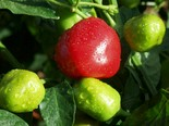 Imported from South Africa, the fruits are harvested from shrub-like plants, de-seeded by hand and picked.