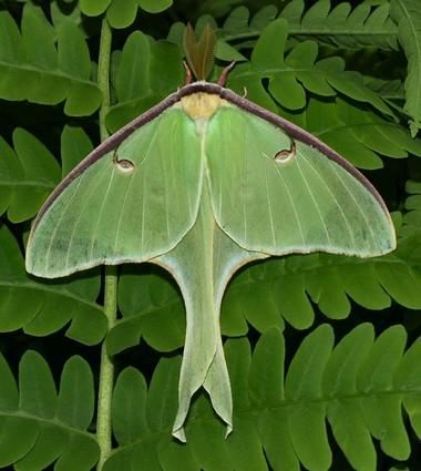 Luna moth (Photo courtesy of Eric Curtis Cummings)