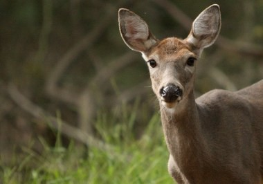 This 2012 photo shows a deer in Clay Pit Ponds State Park Preserve in Charleston.