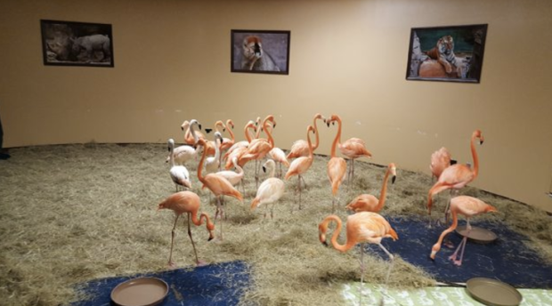 The flamingos were taken to a special shelter to ride out the storm. (Photo courtesy Busch Gardens, Tampa)