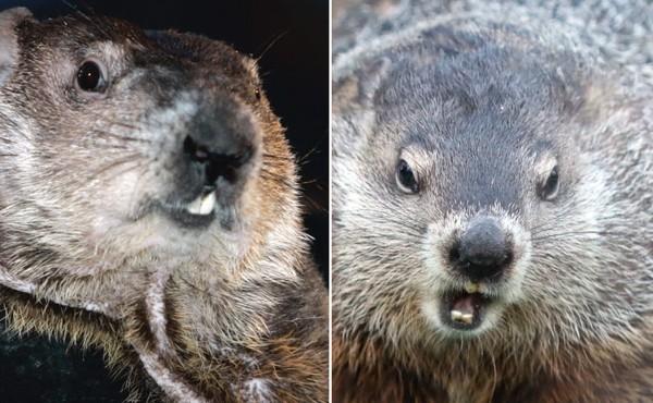 Punxsutawney Phil, left, vs. Staten Island Chuck, right.