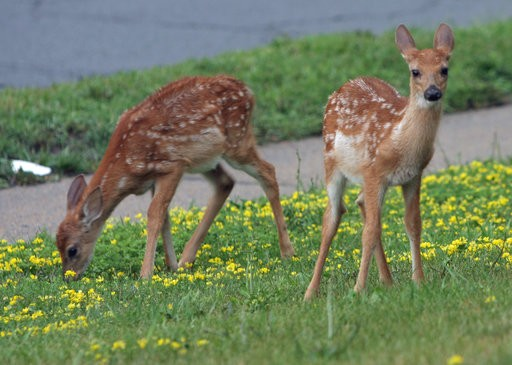 Leaving fawns alone is in their best interest, wildlife experts advise.