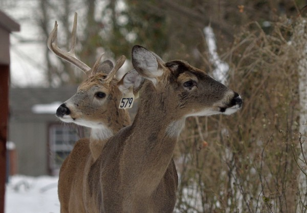 "De Blasio thinks the Island's three year $3.3 million deer vasectomy program still ""best plan"" and worth the investment to curb the borough's surging deer population despite it running over budget in only the second year. (Staten Island Advance/Bill Lyons)"
