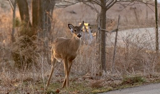 Some experts say that elimination of the deer population will lead to the elimination of the tick population and so completely prevent the transmission of tick-borne pathogens.