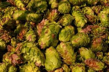 Hop cones are show after harvesting in this 2011 file photo.