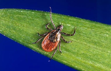 Powassan virus is spread to people by the bite of an infected tick. The state Health Department notified Cayuga County health officials that an adult living in the county has a confirmed case of Powassan virus.