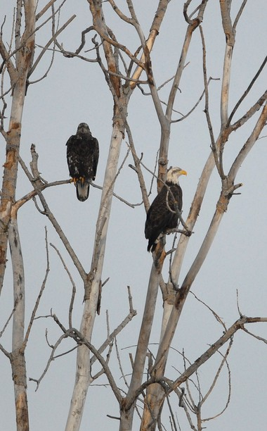 An adult bald eagle and a juvenile bald eagle sit in a tree along the shore of Onondaga Lake behind the Onondaga County Wastewater Treatment Plant in Syracuse Friday morning.