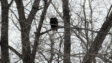 In 2011, Dennis Nett captured this image of a bald eagle roosting in a tree, on the Onondaga Lake shoreline, near DestinyUSA.