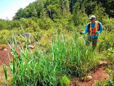 Brendan Quirion, recently appointed the new coordinator of the Adirondack Park Invasive Plant Program (APIPP) uses a backpack sprayer to treat phragmites (frag-my-teez), common reed, in summer before it flowers.