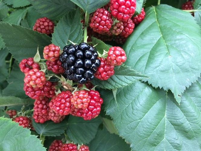 Blackberries in the Ton-That's family garden in Syracuse.