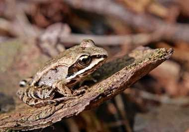New York State Sen. John DeFrancisco has introduced a bill to make the wood frog, like this creature in this file photo, the state's official amphibian.