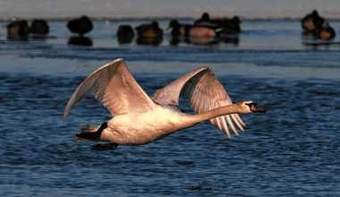 A mute swan tales flight over Onondaga Lake.