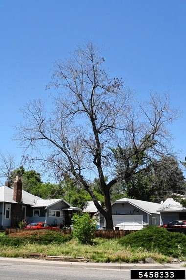 Disease that could wipe out black walnut trees in East