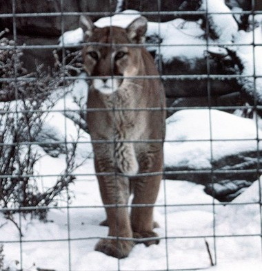 A caged mountain lion at the Burnett Park Zoo is shown in this 2004 photo.
