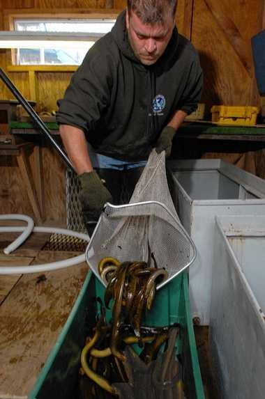Shawn Fox of the Cortland DEC office transfers lampreys at the Cayuga Lake inlet fish way near Ithaca in this photo taken in 2008.