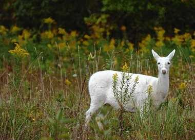 The white deer herd at the depot is reportedly the largest of its kind in the world.