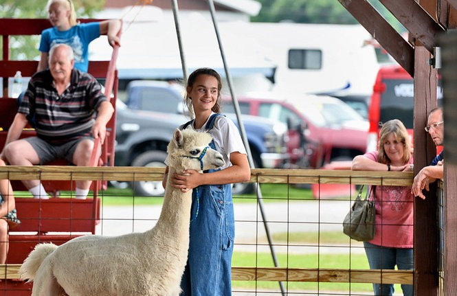 A girl with her alpalca during the judging at the 160th Annual Oswego County Fair in Sandy Creek, August 10, 2017.