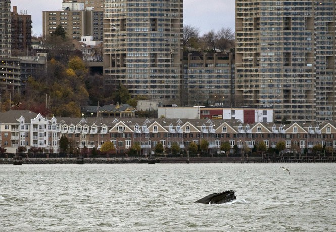 In this Nov. 20, 2016 photo, a humpback whale pops up in the waters between 48th Street and 60th Street as seen from New York City, with New Jersey visible in the background.