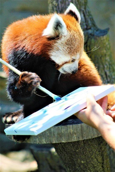 A painting by Basil the red panda will be raffled off to benefit red panda conservation.