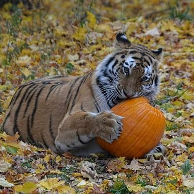 Zoo animals take care of the post-Halloween pumpkins at Squishing of the Squash